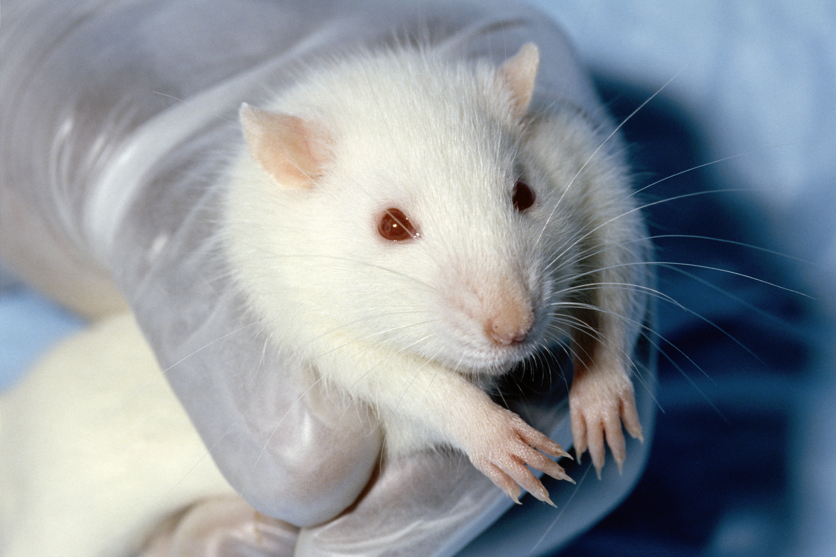 lab mouse pictures - HD2700×1800
